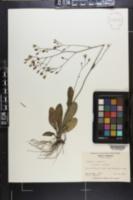 Hieracium marianum image