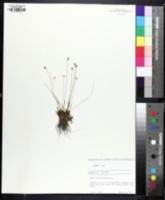 Image of Xyris brevifolia