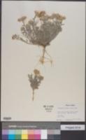 Image of Townsendia florifera