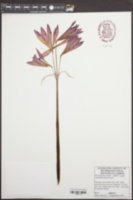Rhodophiala bifida image