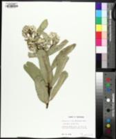 Image of Asclepias viridis