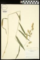 Chasmanthium latifolium image