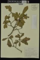 Quercus x venulosa image