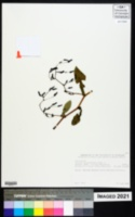 Image of Lactuca glandulifera