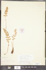 Woodsia ilvensis image