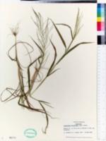 Dinebra panicea subsp. brachiata image