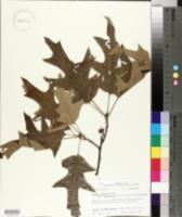 Quercus falcata var. leucophylla image