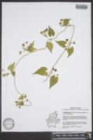 Matelea reticulata image