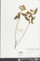 Image of Croton lachnocarpus