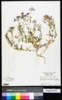 Image of Phlox glabriflora
