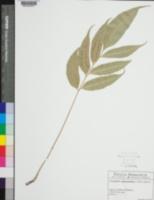 Image of Phanerophlebia juglandifolia