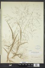 Panicum capillare image