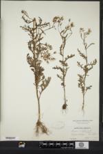 Senecio sylvaticus image