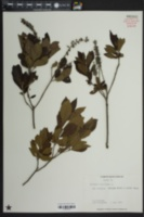 Clethra alnifolia image