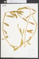 Alternanthera philoxeroides image