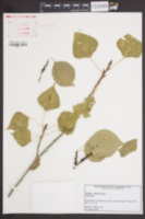 Image of Populus × jackii
