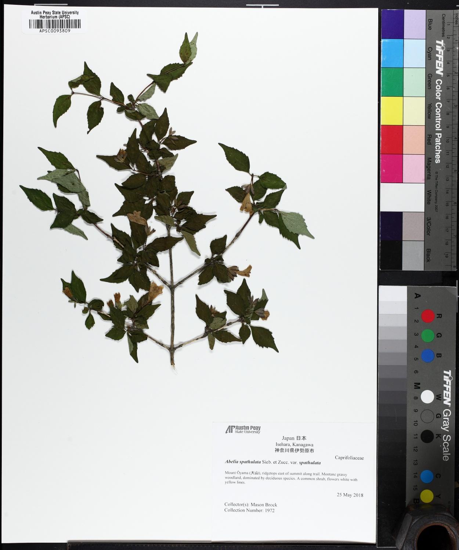 Linnaea spathulata image