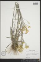 Image of Heterotheca microcephala