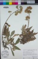 Phacelia imbricata image