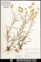 Pityopsis flexuosa image