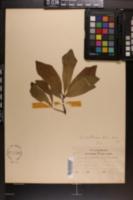 Quercus x moultonensis image