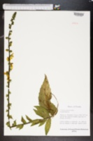 Verbascum virgatum image