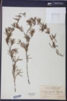 Ernodea angusta image