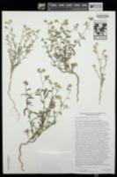 Cryptantha pterocarya image