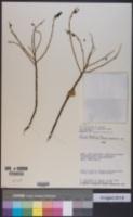 Image of Monnina salicifolia