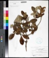 Avicennia germinans image
