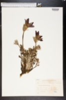 Image of Anemone montana
