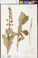 Crotalaria spectabilis image