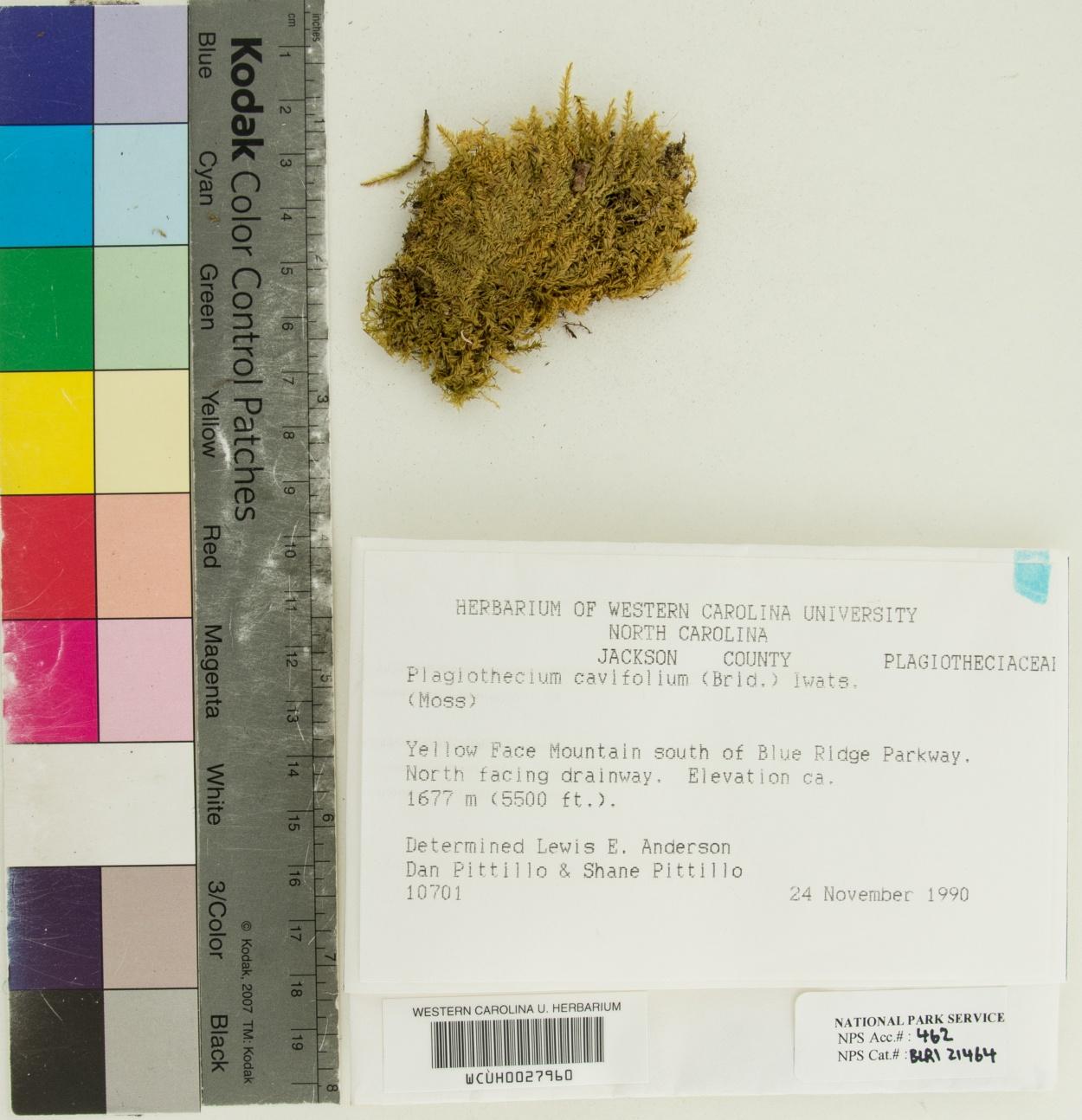 Plagiothecium cavifolium image