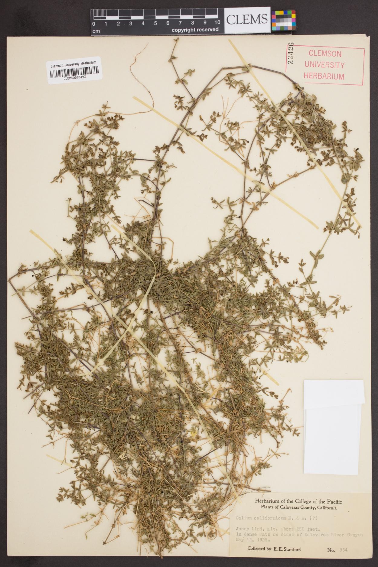 Galium californicum image