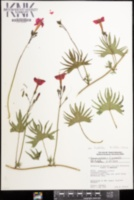 Image of Ipomoea multifida