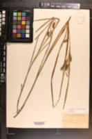 Image of Carex aureolensis