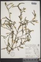 Corchorus siliquosus image