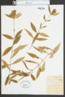 Gentiana decora image