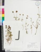 Trifolium carolinianum image
