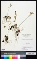 Image of Ainsliaea apiculata