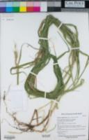 Image of Elymus californicus