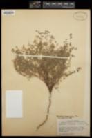 Chamaesyce melanadenia image