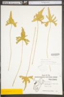 Viola bernardii image