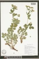 Image of Drymocallis rhomboidea