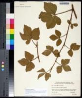 Rubus paganus image