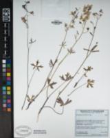 Image of Delphinium gracilentum