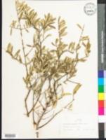 Image of Forestiera porulosa