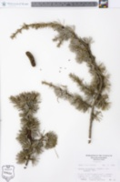 Cedrus atlantica image