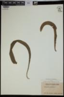 Ophioglossum pendulum image