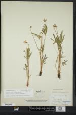 Viola brittoniana image